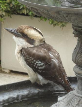 Kookaburra juvenile bird